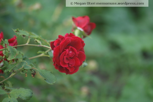 The Red Rose of St. Therese is in blossom in my garden.