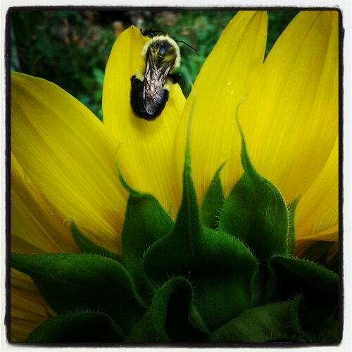 Bumblebee on sunflower in my garden
