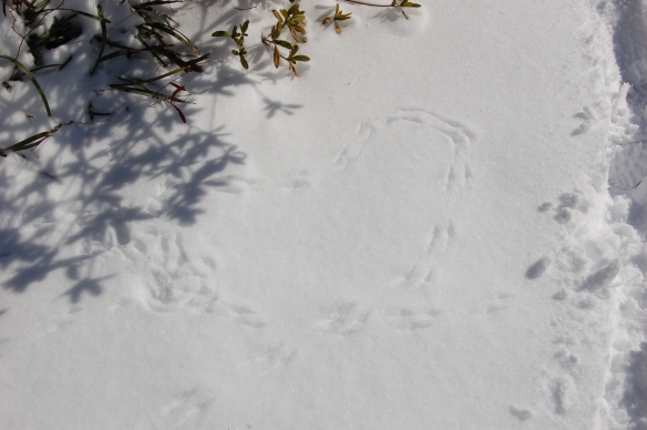 """Creature Print Heart Haiku"" Some think Valentine's Day Is not a holiday. I I think it is because... (end of haiku) creatures make prints in the snow can you see the heart?"