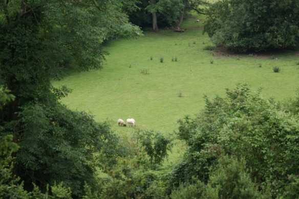 Sheep grazing on fields surrounding Downton...I mean Highclere.